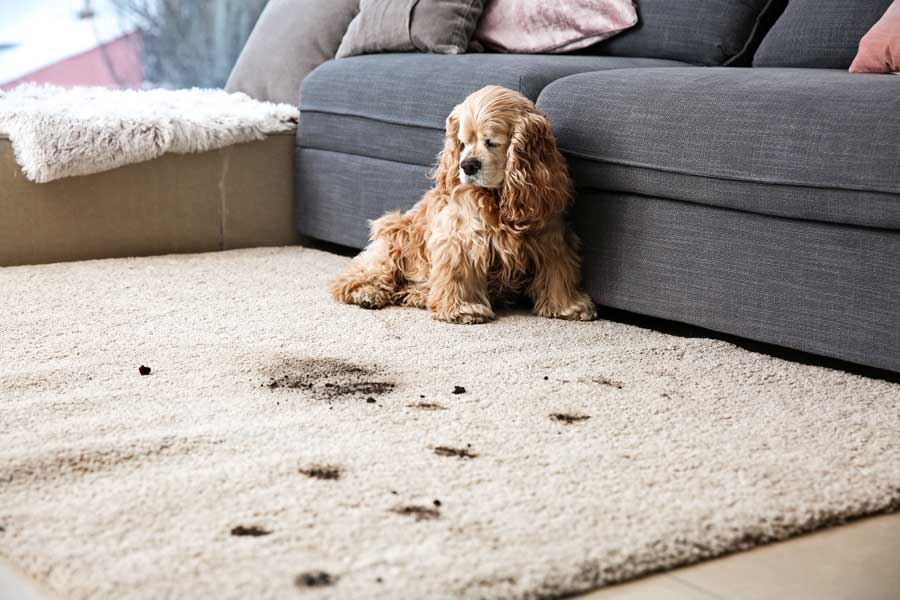 Keep Your Carpet Puppy Damage Free